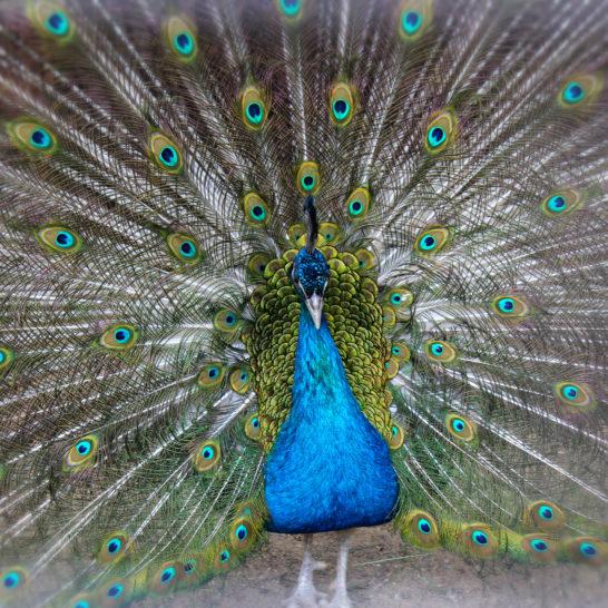 Heinolan lintutarha riikinkukko Heinola bird sanctuary peacock