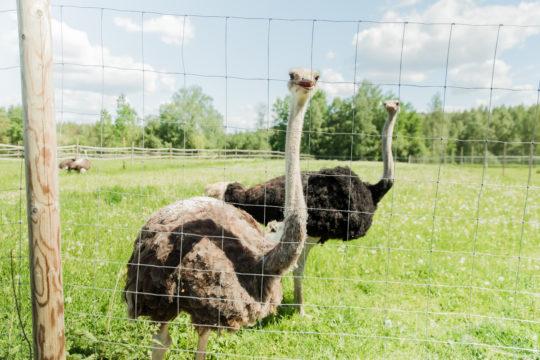 Kilkkilän farmi strutsit Kilkkilä farm ostrichs