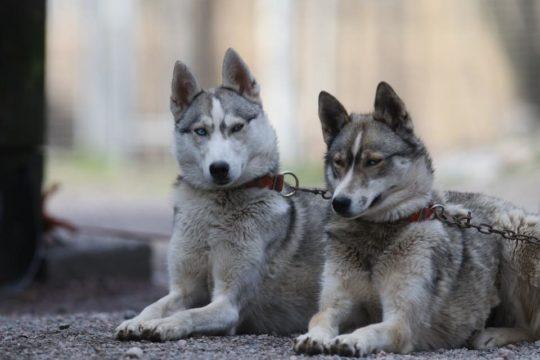 Koira-Kikka huskyfarmi valjakkoajelu Heinola husky farm dog sled