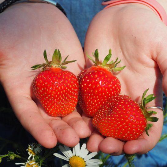 Pihamaan viini- ja puutarhatila mansikat strawberries