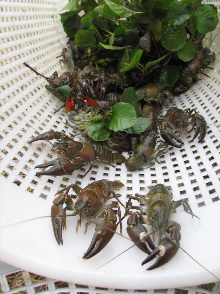 Rapu Crab