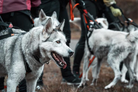 Husky Trail Vierumäki